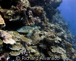 Sea Turtle watching diver's swim by by Richard Alvarado 